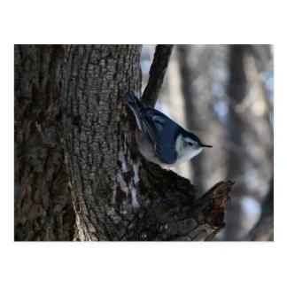 Black Capped Chickadee In Tree Postcard