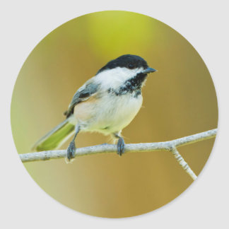 Black-Capped Chickadee Perched In Cottonwood Classic Round Sticker