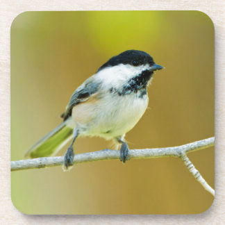 Black-Capped Chickadee Perched In Cottonwood Drink Coasters
