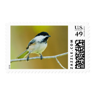 Black-Capped Chickadee Perched In Cottonwood Postage
