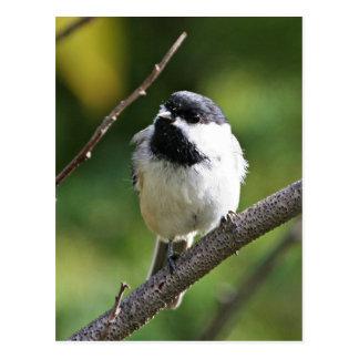 Black-capped chickadee postcard