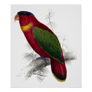 Black-Capped Lory by Edward Lear Print