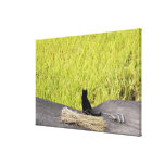 Black Cat in Rice Paddy Canvas Print