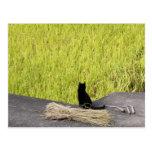 Black Cat in Rice Paddy Postcard