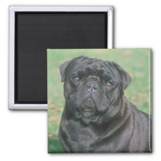 Black Chinese Pug 2 Inch Square Magnet