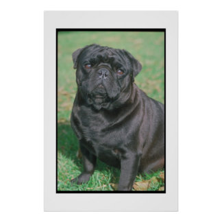 Black Chinese Pug Poster