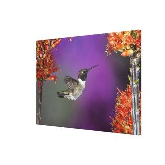 Black-chinned Humingbird, Archilochus alexandri, Gallery Wrapped Canvas