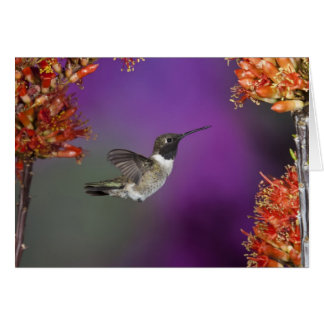 Black-chinned Humingbird, Archilochus alexandri, Greeting Cards