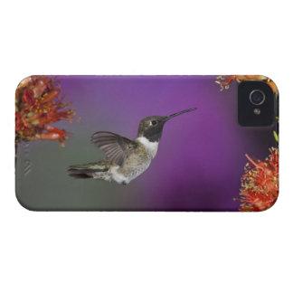 Black-chinned Humingbird, Archilochus alexandri, iPhone 4 Covers