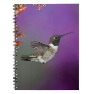 Black-chinned Humingbird, Archilochus alexandri, Notebook
