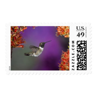 Black-chinned Humingbird, Archilochus alexandri, Stamp