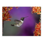 Black-chinned Humingbird, Archilochus alexandri, Postcard