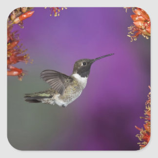 Black-chinned Humingbird, Archilochus alexandri, Square Sticker