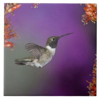 Black-chinned Humingbird, Archilochus alexandri, Tile