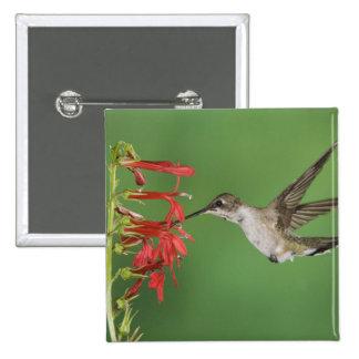Black-chinned Hummingbird, Archilochus 2 Button