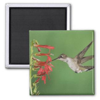 Black-chinned Hummingbird, Archilochus 2 Magnet