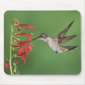 Black-chinned Hummingbird, Archilochus 2 Mousepads