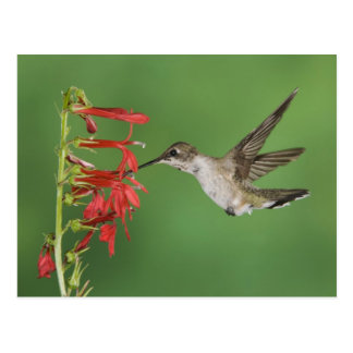 Black-chinned Hummingbird, Archilochus 2 Postcard