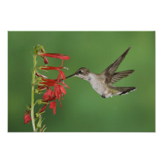Black-chinned Hummingbird, Archilochus 2 Poster