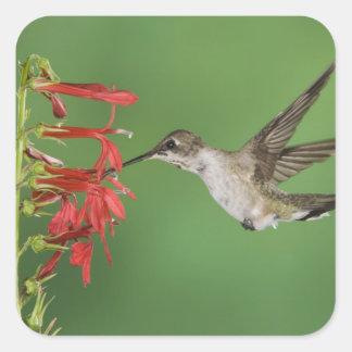 Black-chinned Hummingbird, Archilochus 2 Square Sticker