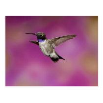 Black-chinned Hummingbird, Archilochus Postcard
