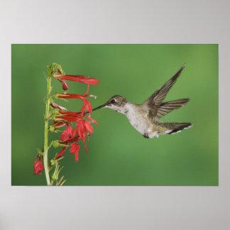 Black-chinned Hummingbird, Archilochus Poster