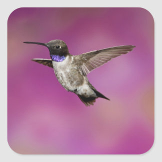 Black-chinned Hummingbird, Archilochus Square Sticker