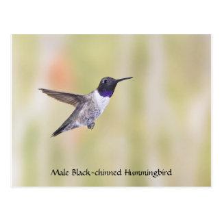 Black-chinned Hummingbird Postcard