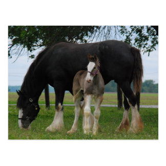 Black Clydesdale and Filly Postcard