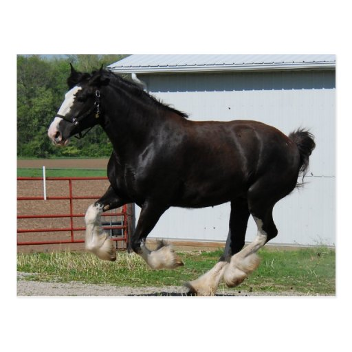 Black Clydesdale Postcard