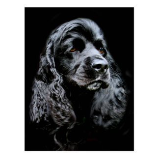Black Cocker Spaniel Postcard