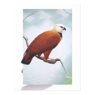 Black-collared Hawk Postcard