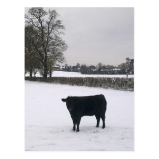Black Cow in Snow Postcard