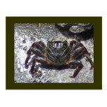 Black Crab Postcard