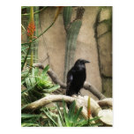 Black Crow Post Cards