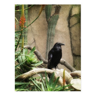 Black Crow Postcard