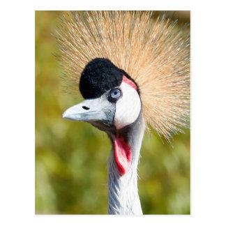 Black Crowned Crane Portrait Postcard