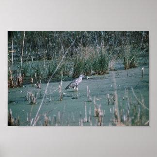 Black-crowned night heron hunts in a marsh print