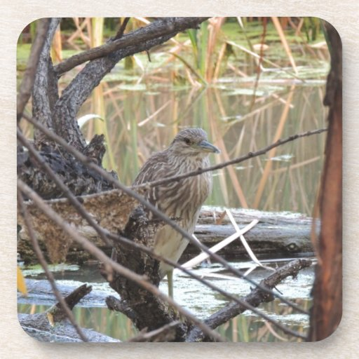 Black Crowned Night Heron Juvenile Drink Coaster