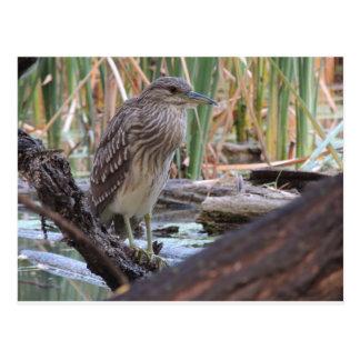 Black Crowned Night Heron Juvenile Postcard