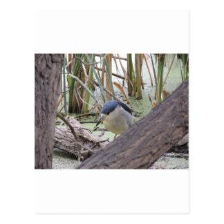Black Crowned Night Heron Male Postcard