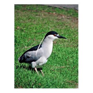 Black-crowned night heron postcard