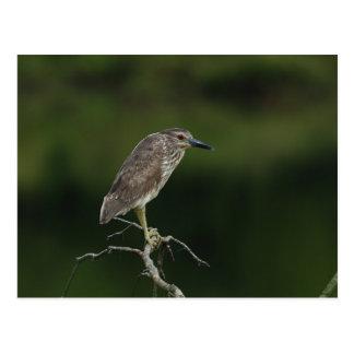 Black Crowned Night Heron Postcard