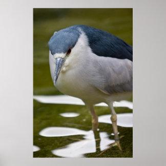 Black-crowned Night heron Print