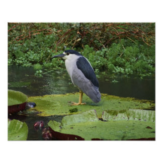 Black Crowned Night Heron Print