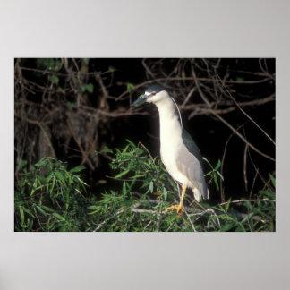 Black Crowned Night Heron Posters