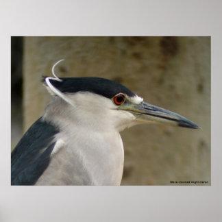 Black-crowned Night-Heron Posters