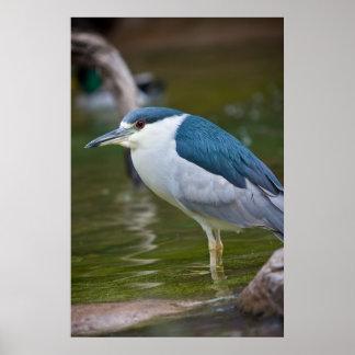 Black-crowned Night heron Posters
