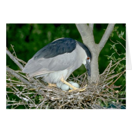 Black-crowned Night Heron with eggs Greeting Cards