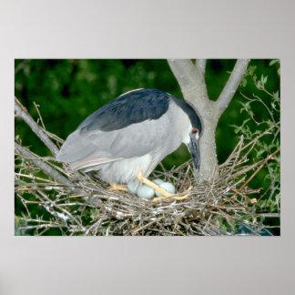 Black-crowned Night Heron with eggs Print